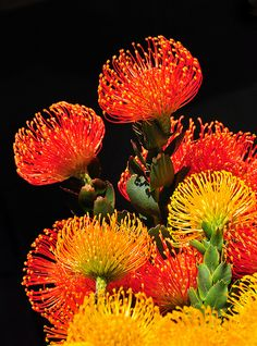 Flaming Pin cushion Protea. Stunning tropical flower that is available all year and adds an exotic touch to high style and mixed arrangements.