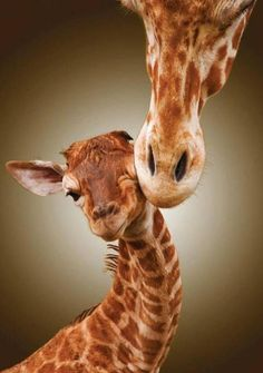 Giraffe mom and baby. Happy Mother's Day!