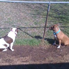 my bully bookends! #pitbull #rescue