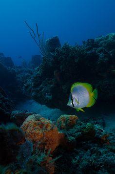 #Butterflyfish  by sub marine