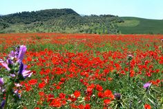 Poppy Fields of May - Serrania de Ronda