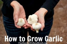 How to Grow Garlic - this would be fun, maybe I should get a little planter to put on the back porch.