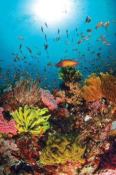 The reef at Beatrice Rock is prized by underwater photographers for its Technicolor riot of corals and mobs of schooling anthias. The site — off the Anilao region on the Luzon coast — offers a pinnacle, a series of drop-offs and spectacular viz.