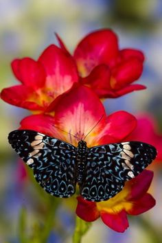 Starry Night Butterfly on fresia flower.