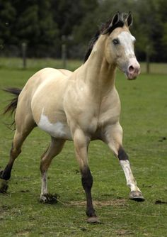 Buckskin/Dun Overo Stallion