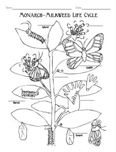 Great plant activity guide for grades 3-5 that includes a section on monarchs and milkweed.