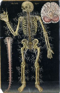 16th CENTURY BIOMEDICAL ILLUSTRATION  The Nervous System  Painted figures from Master John Banister [1533-1610]
