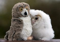 """""""In his five short weeks of life, Orbit hasn't met many other owls. So he isn't at all worried that his new best friend doesn't hoot back. The orphaned chick is perfectly content in the company of the stuffed bird perched next to him and is never far from his side. Orbit, a common barn owl, was given the toy by Lyndsey Wood, his carer at Folly Farm, near Narberth in West Wales. She said: 'A friend suggested that I find something like a toy owl to stop Orbit feeling lonely. I thought he might try to eat it, but he just cuddles up to it and goes to sleep."""""""