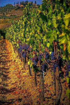 Vines of Tuscany, Italy