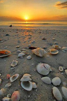 shell, beach sunsets, florida, the ocean, at the beach