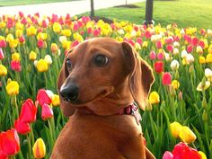 doxie and tulips