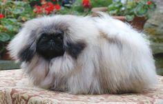 El pelo que suelta el perro puede convertirse en una tremenda pesadilla. Sin embargo, ¿cómo podemos saber si es normal o no la cantidad de pelo que suelta nuestro perro? ** REPORTE GRATUITO: Las 7 ...