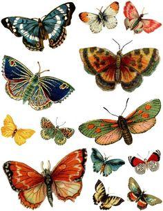 illustration zoologique, chromos : papillons