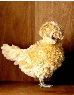 Bearded Buff Laced Polish Frizzle Bantam Hen Picture - Chicken Breed Pictures - Town & Country Magazine