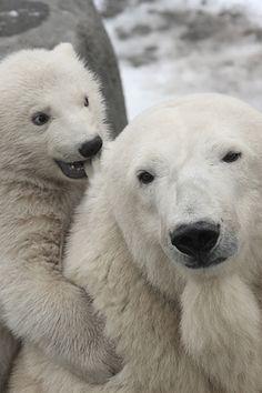 Polar bears~ Hey, mom, Let's play!