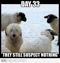 Stealth Dog sheepdog, anim, laugh, dogs, stuff, funni, suspect, humor, thing