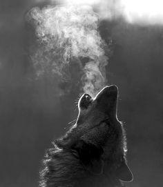"Wolf ""smoke"", black and white #photography"