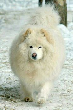 Dog That Looks Like A Polar BearWhite Dog That Looks Like A Polar Bear