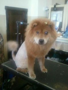 The lion cut with Candy the shelter Chow