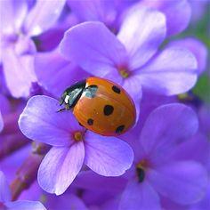 . color, ladybug, nativ, insect, ladi bug, garden, flower, thing