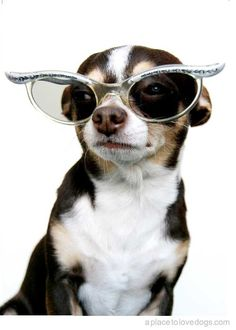 so fashionable! dog dresses, cat eyes, rock stars, movie stars, ador animalspet, puppi, chihuahua, animals with glasses, animals in sunglasses