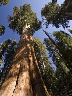 California, Sequoia National Park, General Sherman Tree, USA