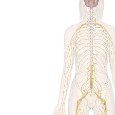 Nervous System: Interactive Views and Information | Anatomy Guide