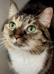 Mischief is a smart, young girl available for adoption at Feline Rescue, Inc in St. Paul MN. She's playful & affectionate. Click for more info.