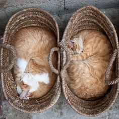 Moroccan cats in straw bags.