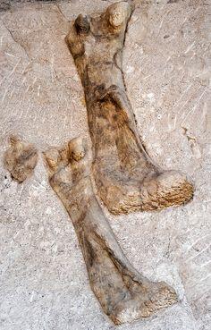 Dinosaur bones seen in the Quarry Exhibit Hall within Dinosaur National Monument, Utah.