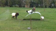 Just goats having fun on a flexible steel ribbon