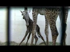 Giraffe Birth (First Video)- Cincinnati Zoo ... Baby giraffe born this morning at the zoo.  Here are some of their first moments together.  Sooo precious!