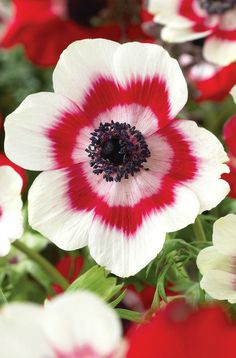 Ring of Fire ~ Poppy Anemone