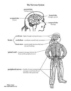 nervous and endocrine coloring pages for kids | Nervous System Structure and Function Labeling Activity -- Exploring ...
