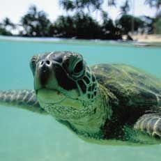 sea turtles, honu