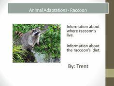 Animal Adaptations Raccoon powerpoint