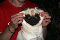 harrythepug:    Facelift, you're doing it wrong. pug patrol, pug mania, pug galor, pug invas, pug problem, dog peopl, pug crazi, facelift, awesom pug
