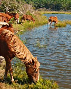 Wild ponies, Assateague Island, Maryland