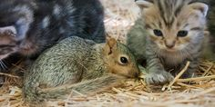 Cute baby squirrel gets adopted by new mommy cat with kittens.  adorable