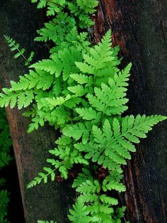 Fern growing on wood...