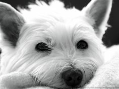 omg :) i am getting a westie