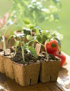 CowPots - great way to get the seedlings started...