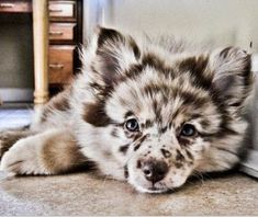 Pomeranian/Australian Shepherd Mix....can't deal with this being in existence. IT'S TOO CUTE!!!