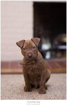 Cutest puppy ever. #pittbull #puppy