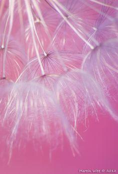 pink dandelion, cotton candy, wild dandelion, pink beauti, larg wild