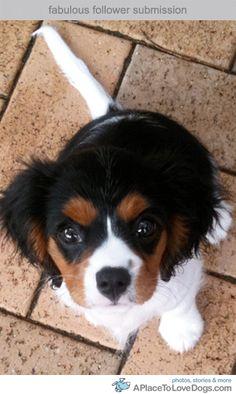 Cavalier King Charles Spaniel :) #dogs #animal #king #charles
