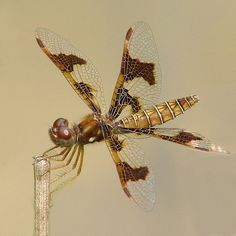 Amberwing, female
