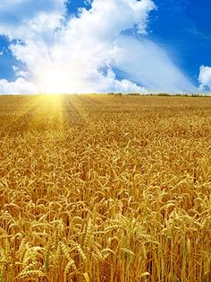 Southbend Indiana wheat fields.   I have fond memories of the Barnyard Bashes we spent there for the 4th of July celebrations and reuniting with all our cousins~