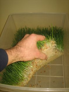 Growing fodder (sprouted barley) for animal feed. Cuts your spending on feed in half !