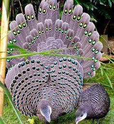 ;Grey peacock